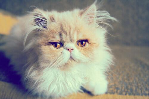 Gatos persa, pura aristocracia turca