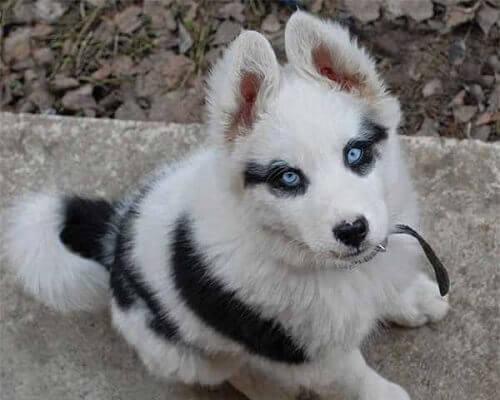 8 cães únicos por causa de suas marcas na pelagem