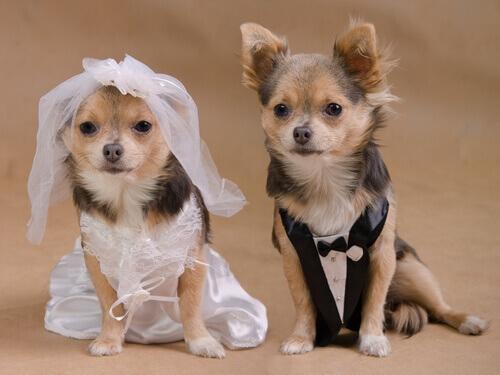 Um casamento de cachorros