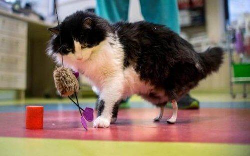 Patas biônicas implantadas em gatos com deficiência física