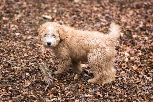 Cão com plaquetas baixas