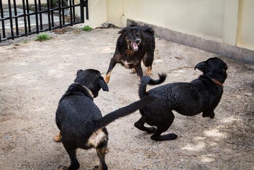 Polícia espanhola resgatou 230 cães que eram utilizados em brigas