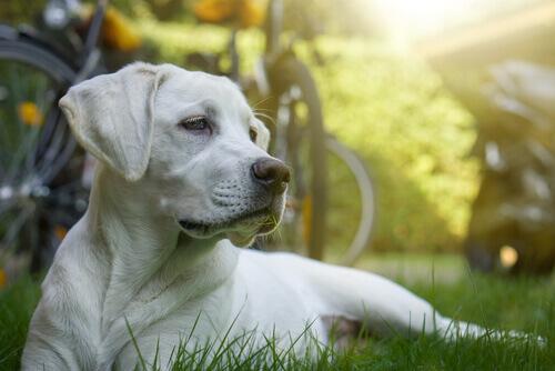A quimioterapia em cachorros, isso é possível?