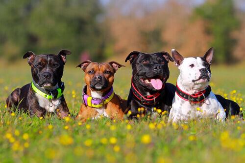 Por que existem tantas raças de cachorro no planeta?