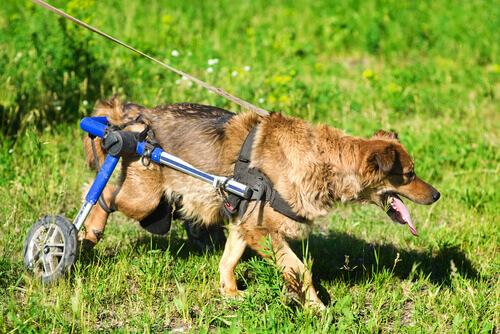 Veja como é a vida dos cachorros em cadeira de rodas