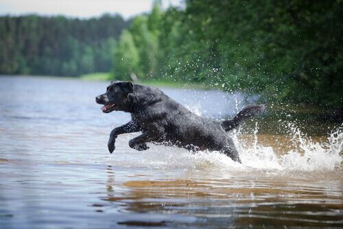 Um labrador resgatou dois cães de uma canoa