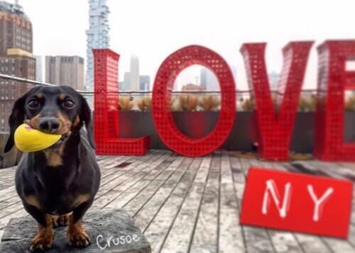 Conheça o cão salsicha que limpa as ruas de Nova York
