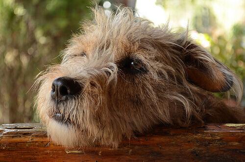 Os cães podem sentir culpa por suas travessuras?