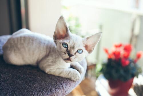 Devon Rex, um gato que sempre precisa de companhia
