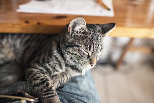 Como agir em caso de envenenamento em gatos