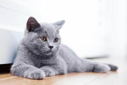 Treze raças de gatos que você nem sabia que existiam