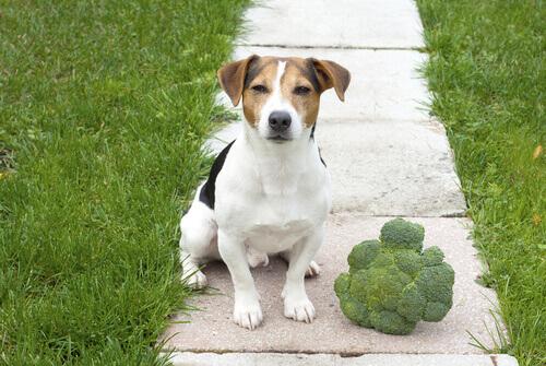O brócolis na dieta do cachorro