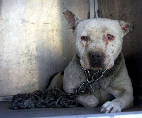 Esta cadelinha descobriu o que é carinho após dois anos acorrentada