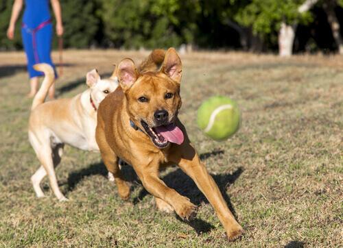 Ensine o seu cachorro a devolver a bola