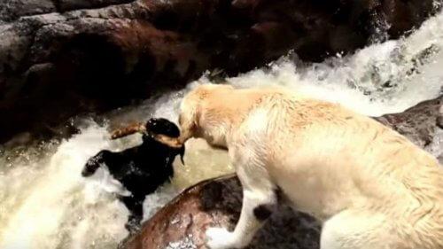 Cão salva outro de sua espécie, impedindo que ele se afogue num rio