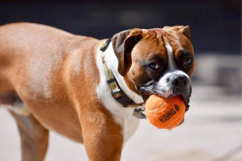 Kong: o novo brinquedo para cães