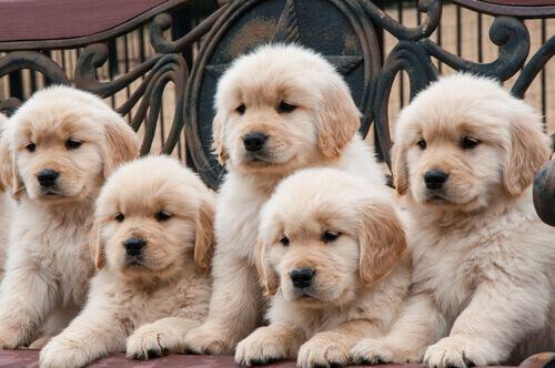 Por que existem tantas raças de cachorro no mundo?