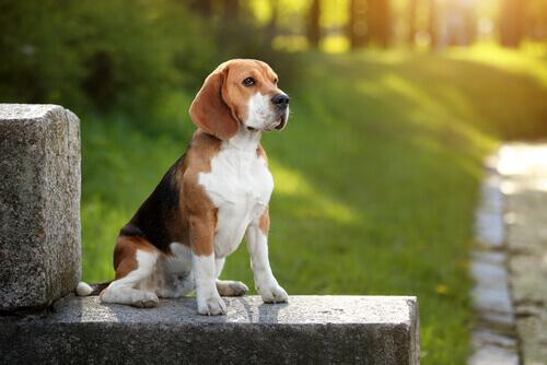 Beagle: descubra tudo sobre essa raça