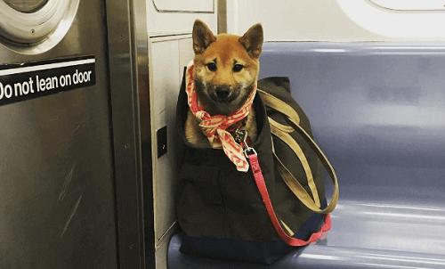 Como os donos fazem para levar seus cães no metrô de Nova Iorque?