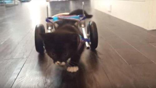 Conheça Cassidy, um gatinho que voltou a andar graças às novas tecnologias