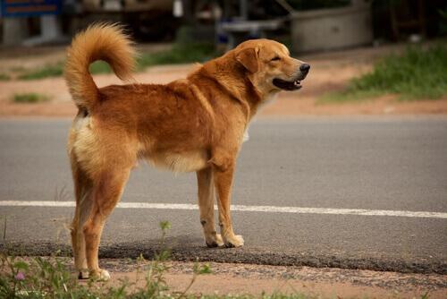 Cão perdido ou vira-lata atravessando a rua