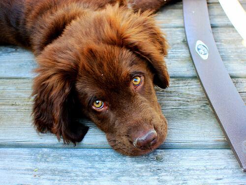 Cachorro marrom deitado olhando para cima