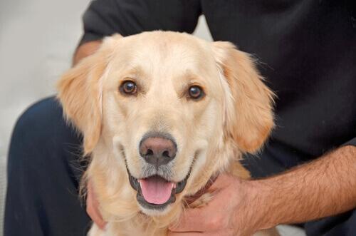 Cão da raça labrador e seu dono