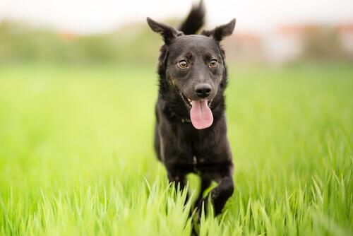 Por que o cachorro vira-lata é especial?