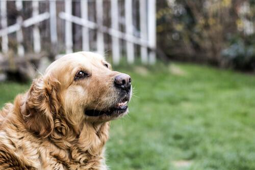 Principais cuidados exigidos por um cão idoso