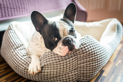 Como escolher a melhor cama para o seu cachorro