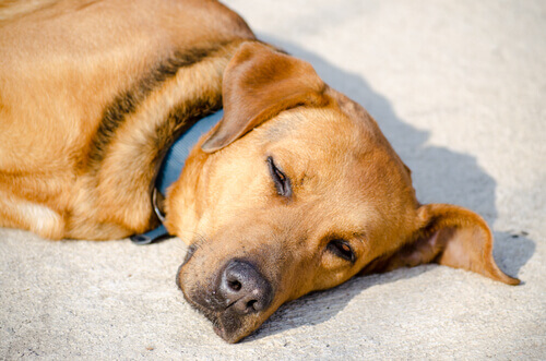 Cão deitado ao sol
