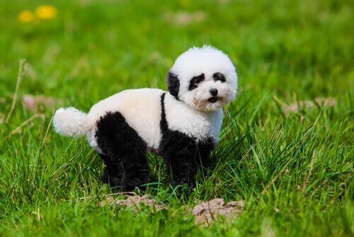 Tudo sobre os cachorros-panda
