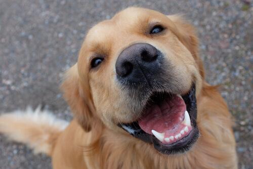 Como cuidar dos dentes do cão