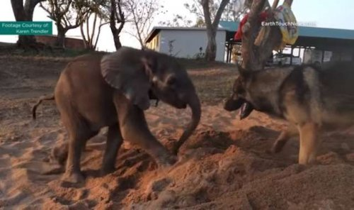 Um pastor alemão e um bebê elefante, uma amizade que vai além das aparências