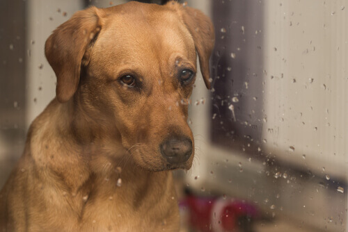 cão olhando para chuva triste