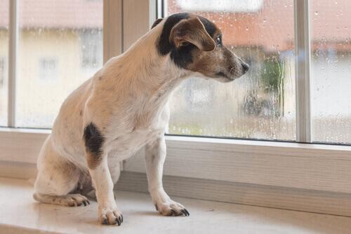 cão olhando através da janela e ouvindo o barulho da chuva