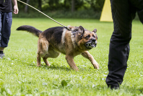 cão com raiva: como lidar com a agressividade do cão?
