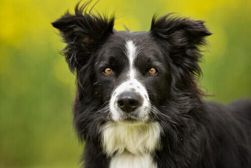 border collie olhando para frente: uma das raças mais inteligentes