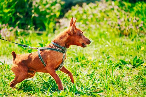 cão sendo contido pela coleira