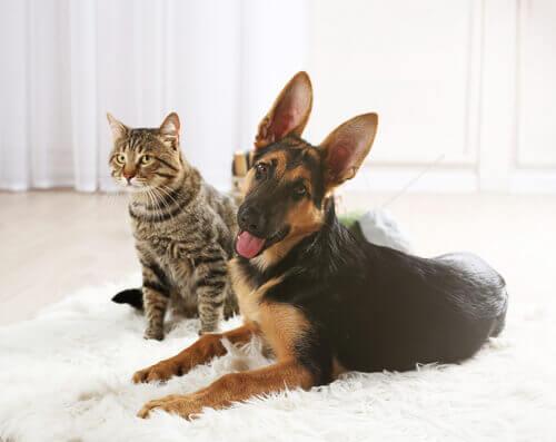 Cão e gato sobre um tapete branco na sala