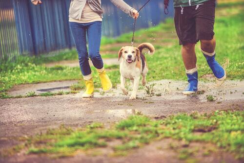 cachorro correndo na chuva com seus donos