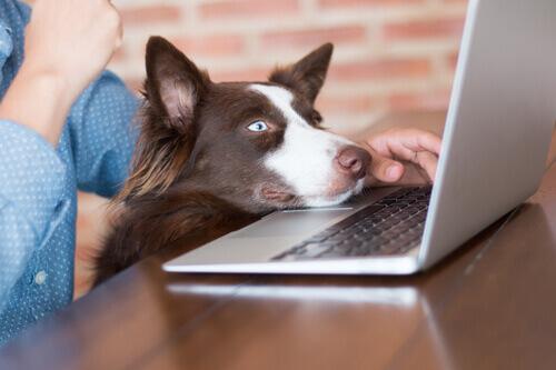 Cachorro com a cabeça encostada no laptop do dono: cães no trabalho