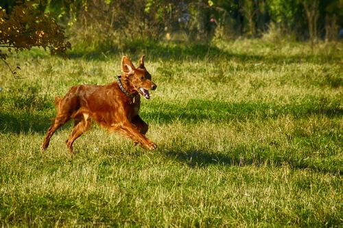 Cachorro correndo ao ar livre