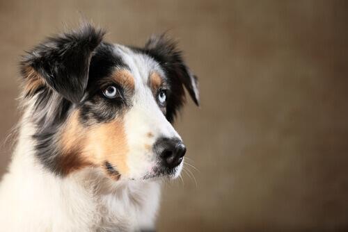 cão olhando para cima