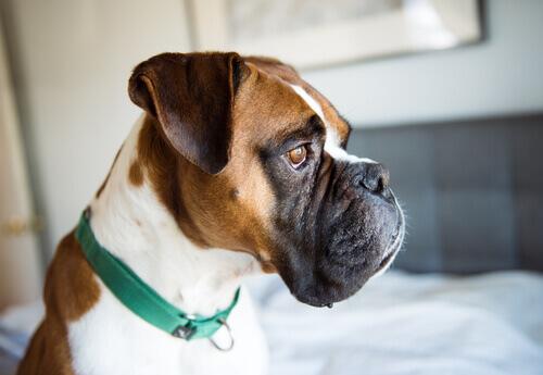 Boxer triste: depressão canina cada vez mais comum