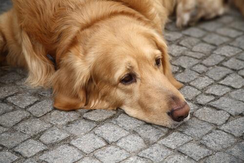 cão deitado no chão de asfalto: depressão canina?
