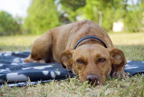 Os sonhos dos cães: cão dormindo na grama