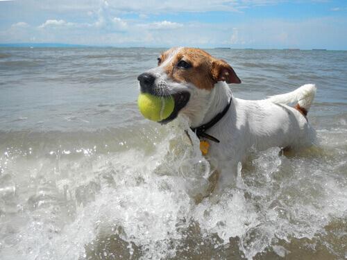 Cão na água do mar com uma bolinha
