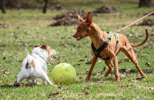 Cão ameaçando outro cão menor