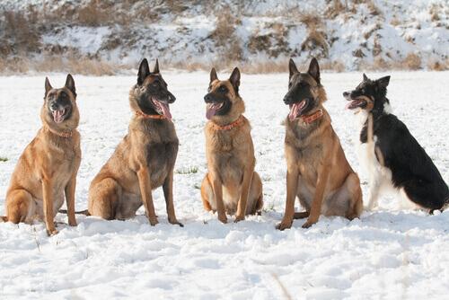 Cães da raça Pastor Belga Laekenois na neve